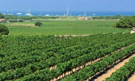 FROM SAINT-TROPEZ TO RAMATUELLE VINEYARDS FLOURISH